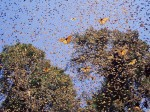 monarch butterfly migration 12